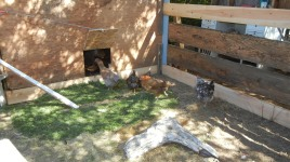 The girls have access to the coop and the run during the day with the pop door.